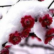 ❀雪中寒梅❀